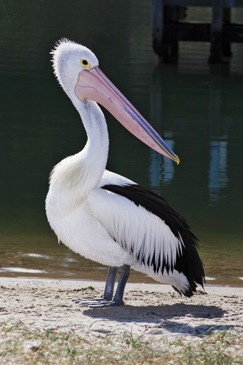 Pelican_lakes_entrance02
